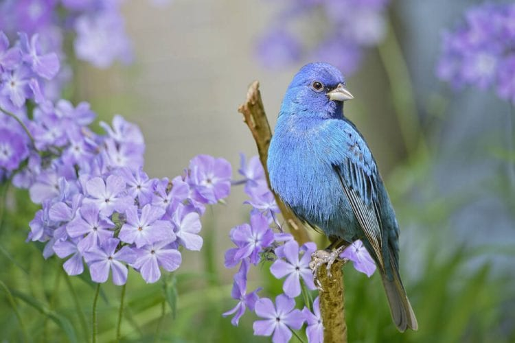 Photo of an Indigo Bunting, One of the Most Vibrant Birds of East Texas.
